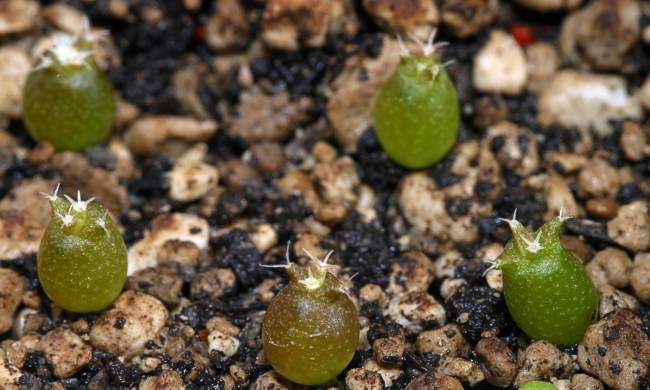 Gymnocalycium glaucum 10 seeds GYMNOCALYCIUM