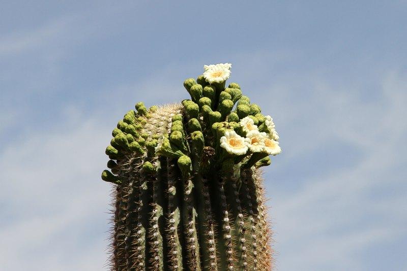Carnegiea gigantea Carnegiea_gigantea_saguaro-np_2011_3
