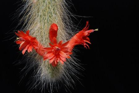 Rote Blüten an weißen Kaktusschwänzen: Winterocereus colademononis.