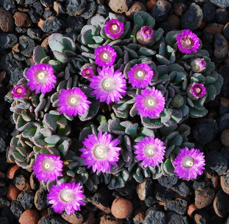 Im zeitigen Frühjahr ist der Blütenflor von Aloinopsis spathulata eine wahre Pracht.