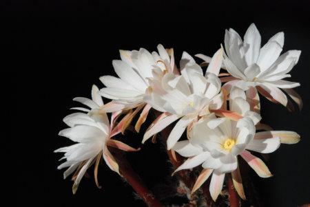 Die nächtlichen Blüten von Pygmaeocereus bylesianus duften nach Waschmittel.
