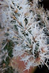 In einer kalten Dezembernacht 2010 bildeten sich herrliche Eisnadeln an den Dornen der winterharten Kakteen.