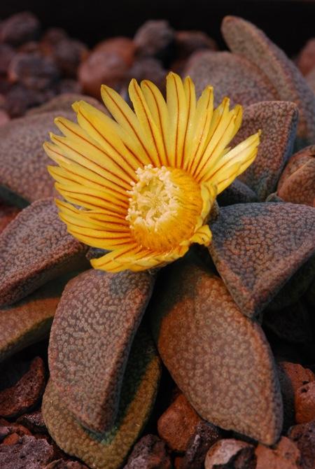 Die herrlichen Blüten von Aloinopsis rubrolineata öffnen sich nur am Nachmittag sonniger Wintertage.