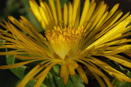 Richtige Anfängerpflanzen sind Faucarien, denn sie blühen im Herbst leicht auch am Fensterbrett.