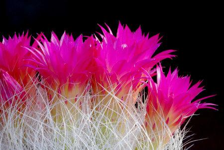 Weiße Dornen, pinke Blüten – Neoporteria (Eriosyce) senilis ein echter Hingucker.