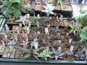 Sammlung kleinbleibender Aloen