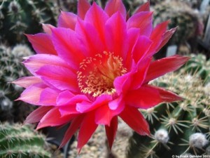 Echinopsis Hybride Schick ISI 97-30 - HBG 80616 -  Schick 1255-30 'Sorceress'