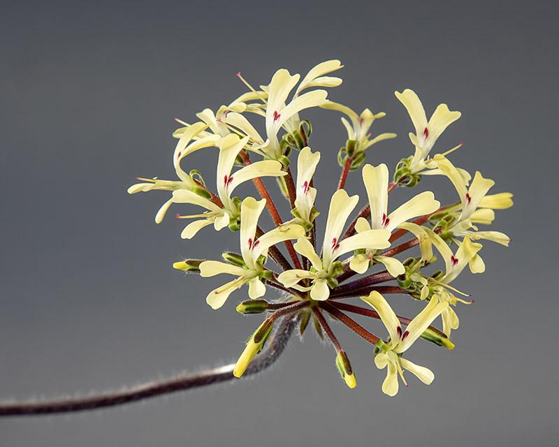Pelargonium moniliforme Pelargonium_moniliforme_2019-03-17_2F2A8752